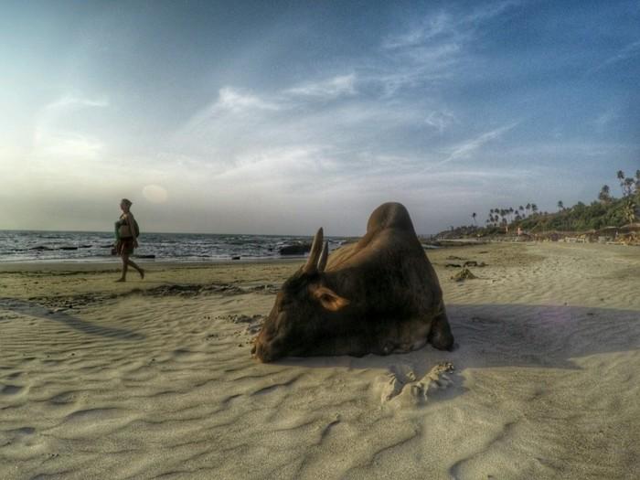 A cow on Big Vagator Beach - North Goa beaches
