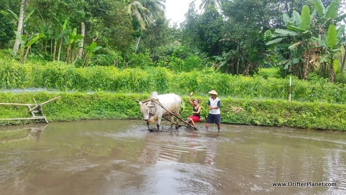 Paddy farming at Desa Pentingsari