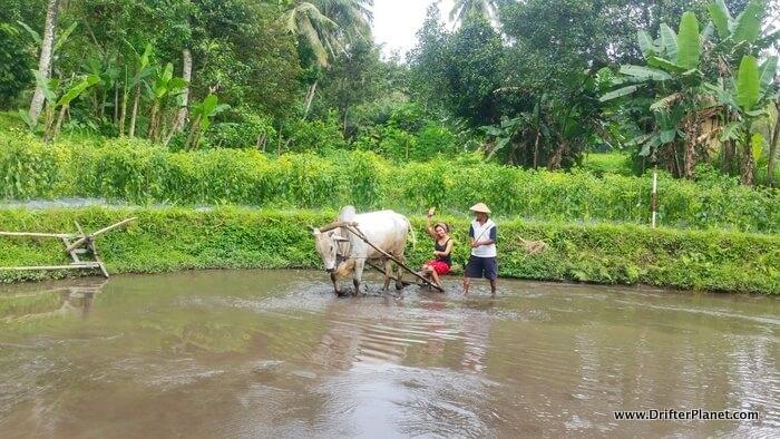 Paddy farming at Desa Pentingsari