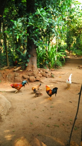 Farm animals at Dudhsagar plantation, Goa