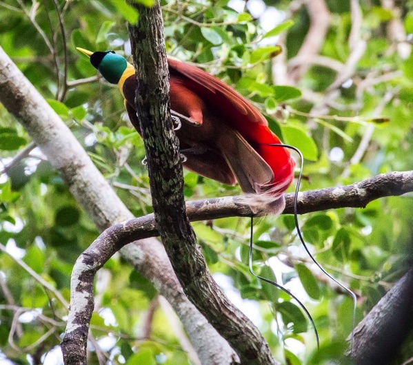 Red Bird of Paradise Raja Ampat - Photo by Time Travel Turtle
